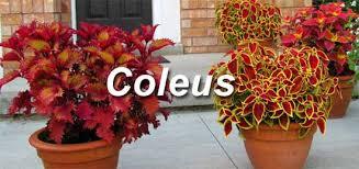 How To Grow Coleus Plants by Garden Design Garden Design With Coleus Seeds Coleus Black Dragon