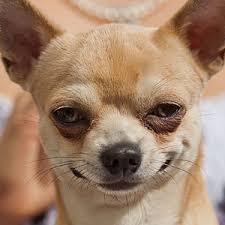 american eskimo dog vs keeshond comparison of chihuahua dog vs keeshond dog findvs com