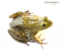 do bullfrogs make good pets