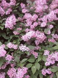Scented Flowering Shrubs - scented aromatic fragrant garden plants shrubs and trees from