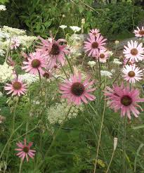 tennessee native plants a conservation success story tennessee purple coneflower plant