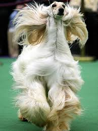 afghan hound vetstreet dogs with no hair westminster kennel club dog show no
