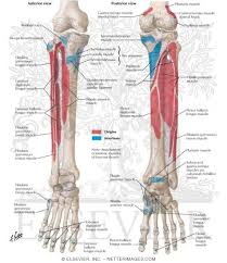 Netter Atlas Of Human Anatomy Online Welcome To Netter Images