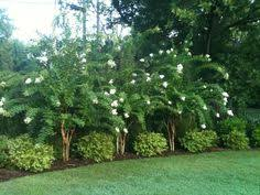 Backyard Privacy Trees Create Privacy Between Your Neighbors In No Time Enjoy Your