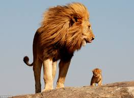 son u0027ll lion king daily mail