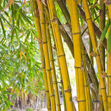 leighton green hedging cypress hello yellow bamboo plants pair 1 2m tall amazon co uk garden u0026 outdoors