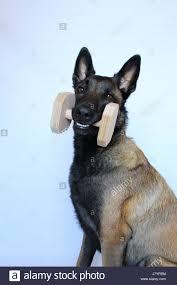 belgian shepherd nova scotia puppy carrying a toy stock photos u0026 puppy carrying a toy stock