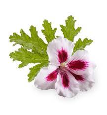 Geranium by Buy Fresh Rose Geranium Essential Oil Shop Now Nz Wholesale