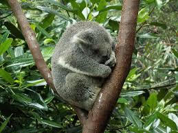 koala bear free pictures pixabay