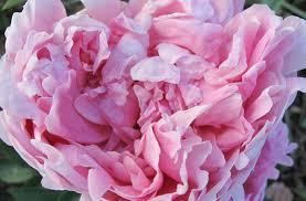 where to buy peonies thyme peonies buy pink parfait