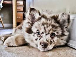 5280 australian shepherd an aussie shepherd mix puppy aww