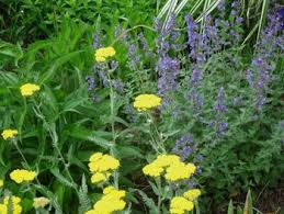 what is a herbaceous perennial plant