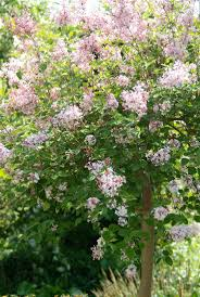 280 best flowers lilacs syringa images on pinterest lilacs