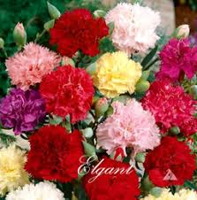 wholesale carnations carnations wholesale seeds online carnations wholesale seeds for