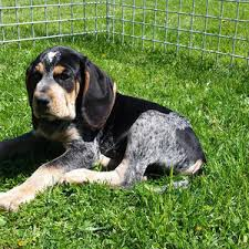 videos of bluetick coonhounds purebred bluetick coonhound puppies river styx scent hounds