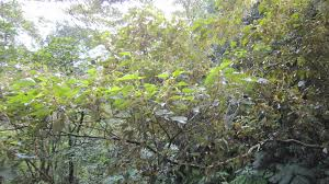 bureau vall馥 valenciennes 自然谷之星九月 白匏子 台灣環境資訊協會