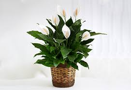 Green Plants Getting Shiny Leaves On Your Potted Plants Proflowers Blog