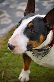 1313 best bull terriers images on pinterest english bull