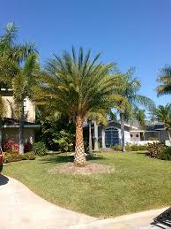sylvester palm tree price installation of a sylvester palm front yard landscaping