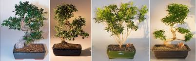 unique bonsai trees bonsai trees at discounted prices