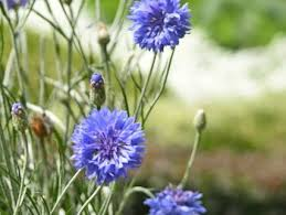 Long Blooming Annual Flowers - 3 tips for keeping annual flowers blooming