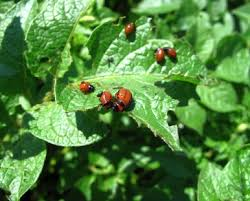 eco friendly ways to get rid of garden pests maid brigade blog