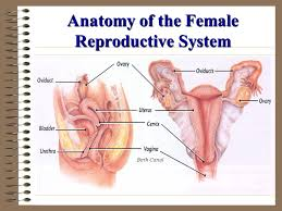 Anatomy Of Reproductive System Female Male And Female Reproductive Systems Ppt Video Online Download