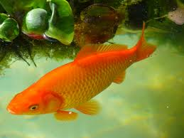 Freshwater Fish Free Images Water Wet Swim Goldfish Koi Freshwater Fish