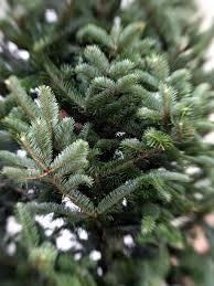 caes newswire georgia christmas trees