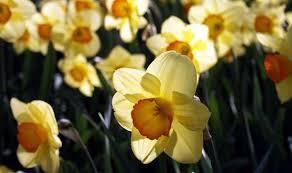 alan titchmarsh u0027s tips on growing daffodils now for spring