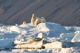 Entry9 by Entry 9 Hello Wrangel Island Russia Beyond