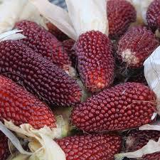 corn seeds strawberry ornamental corn popcorn seed bulk seeds
