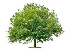 oak definition and meaning collins dictionary
