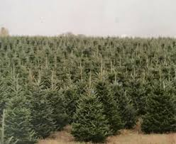 spruce tree sales home
