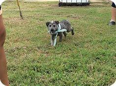 bluetick coonhound lab mix puppies for sale adopt swamper companion for teens and adults on bluetick
