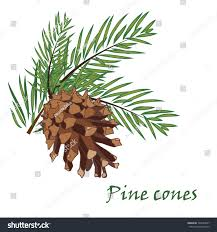 white pine cone fir tree branches pine cone on stock vector 329264567 shutterstock