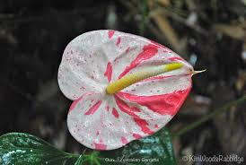 anthurium flower bi colour anthurium flower woods rabbidge our australian
