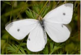 identify prevent and treat the cabbage white butterfly