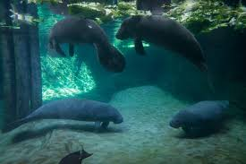Zoo Lights Columbus Zoo by Columbus Zoo And Aquarium Welcomes Four New Manatee Rescues Wbns