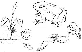 tadpole clipart frog egg pencil and in color tadpole clipart
