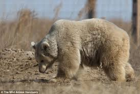Two Polar Bears In A Bathtub Abused Circus Bear Makes Dramatic Transformation Daily Mail Online
