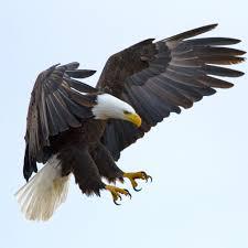 golden eagle talons wallpaper