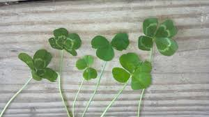 how to find a four leaf clover free st patrick u0027s day gifts