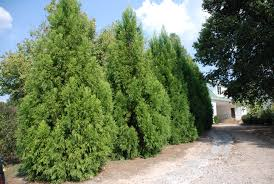 better choices than leyland cypress for privacy screen what