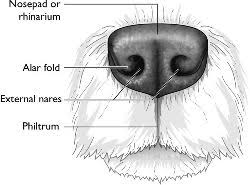 Nose Anatomy And Physiology Nose Definition Of Nose By Medical Dictionary