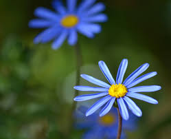 native african plants felicia blue daisy information u2013 how to grow a blue kingfisher