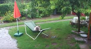 bulldog playing in the rain on a hammock is too cute video