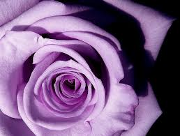 history and meaning of lavender roses proflowers