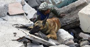 belgian sheepdog rescue ontario rescue dogs at work after mexico u0027s earthquakes the atlantic