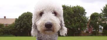 bedlington terrier guard dog bedlington terrier breed guide learn about the bedlington terrier